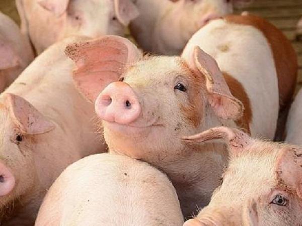 N-Giá thành nuôi lợn hiện nay là bao nhiêu?