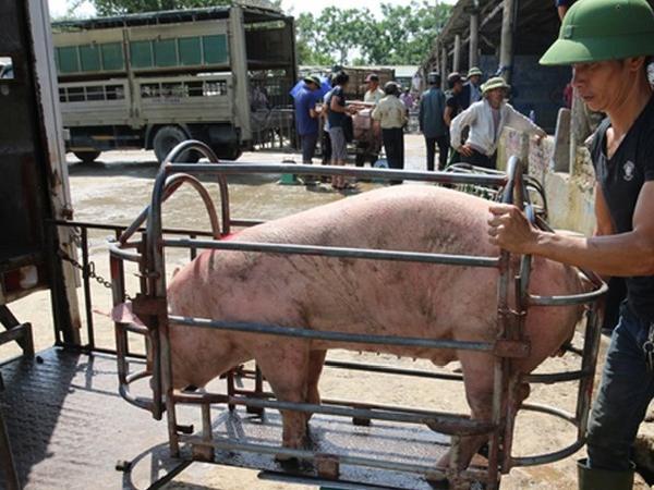 Thực hư chuyện lợn sống nhập khẩu từ Thái Lan có chất cấm