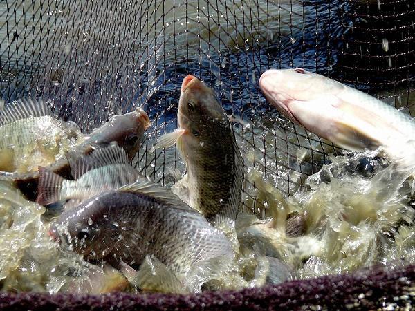 N-Lợi ích khi nuôi cá rô phi ghép với tôm nước lợ