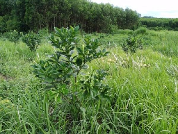 CS-Lợi ích của cỏ dại mang lại cho cây trồng và biện pháp quản lý