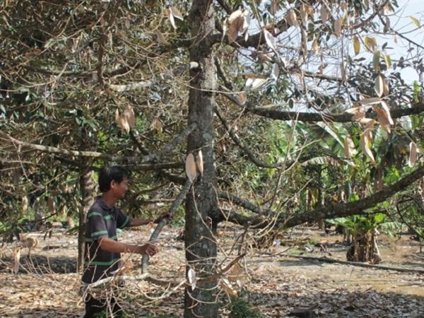 SB-Sầu riêng lại héo lá sau mưa và cách khắc phục