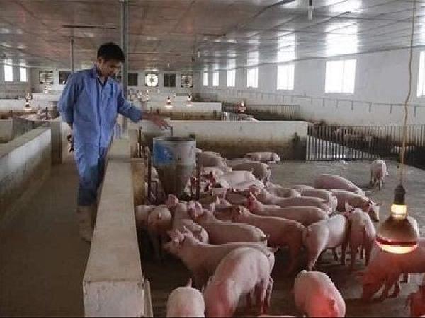 Phanh phui nhiều công ty sản xuất thức ăn chăn nuôi kém chất lượng
