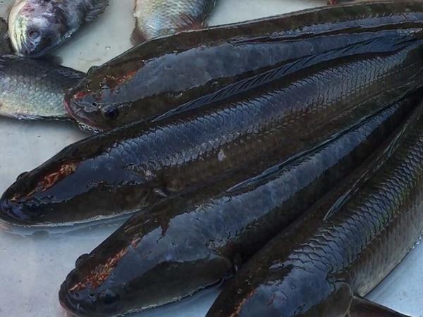 NT-Thức ăn cho cá lóc bà con cần biết để nâng cao hiệu quả