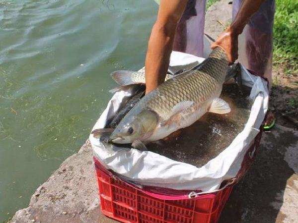 Bí quyết đơn giản để cá trắm nuôi nhanh lớn