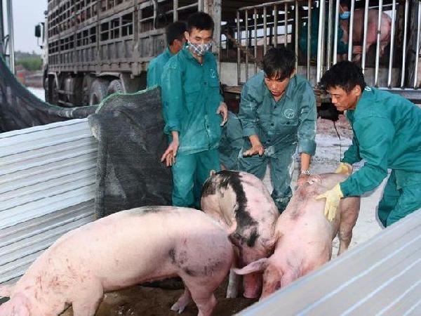 Do đâu nhiều doanh nghiệp nhập khẩu lợn sống từ Thái Lan bỏ cuộc?