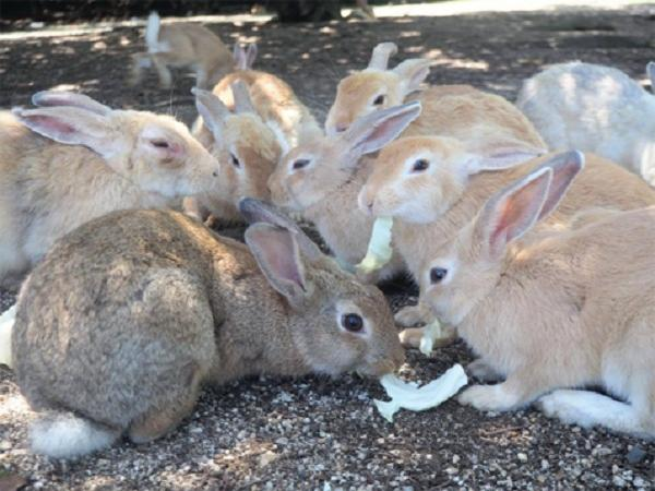 CB-Phòng và trị bệnh tụ huyết trùng trên thỏ