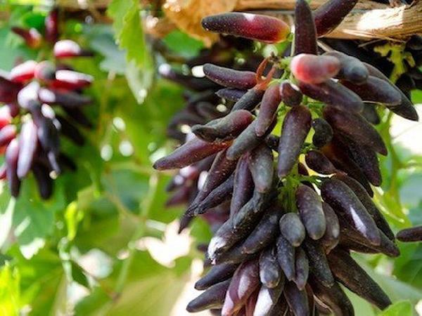 CS-Trồng nho ngón tay cho quả ngọt lịm, năng suất cao, thu hoạch mỏi tay