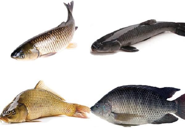 NT-Các loài cá thích hợp nuôi trong ao nước ngọt cho hiệu quả kinh tế cao