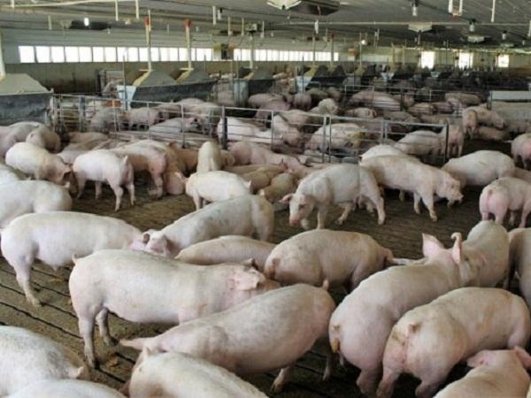 """Mỹ loay hoay tìm cách """"hãm phanh"""" cân nặng của lợn vì nhà máy chế biến đóng cửa"""