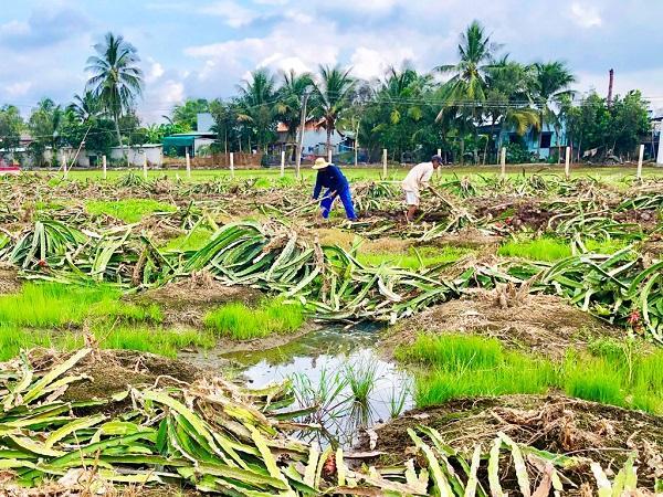Tại sao thanh long rớt giá thê thảm nhưng nông dân vẫn đua nhau trồng mới?