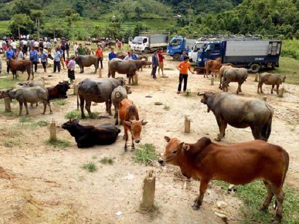 Phẫn nộ nhóm chuyên đi trộm trâu bò của người dân