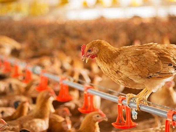 Tám sản phẩm công nghệ mới nhất trong lĩnh vực chăn nuôi gia cầm