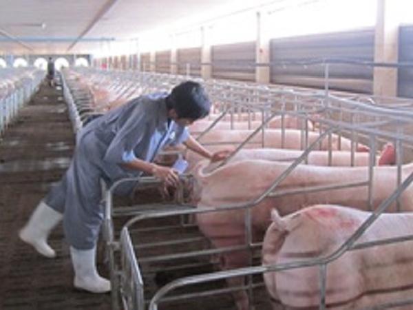 Công nghệ chuồng lạnh – Phần 2: Hệ thống chuồng lạnh trong chăn nuôi lợn