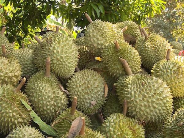 Thu thuế người trồng sầu riêng, thực hư ra sao?
