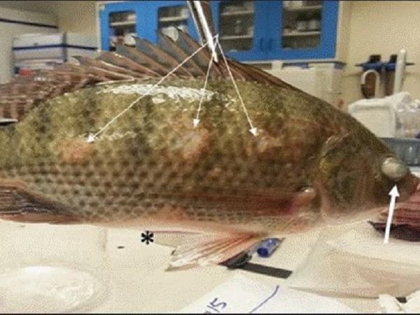 NT-Cảnh giác với loài vi khuẩn mới gây bệnh trên cá