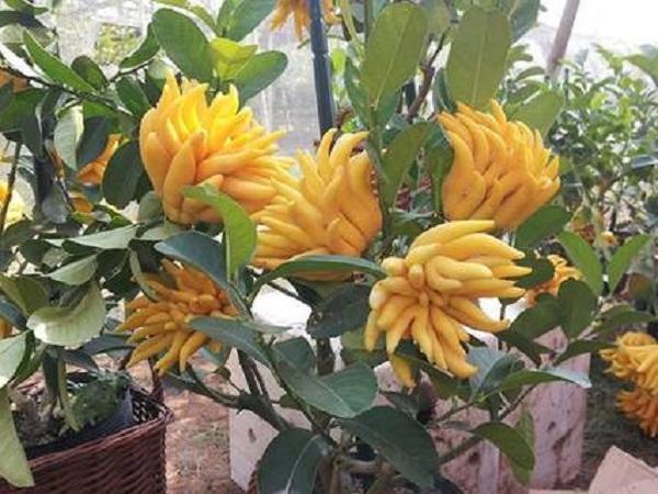 CS-Cách chăm sóc cây phật thủ bonsai ra hoa đúng dịp tết