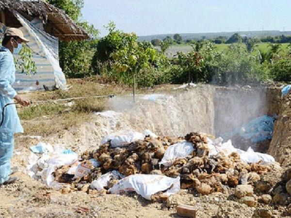 Nông hộ rớt nước mắt khi hàng nghìn con gà bị tiêu hủy do cúm A/H5N1