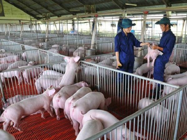 Công nghệ kỹ thuật số cho ngành chăn nuôi lợn