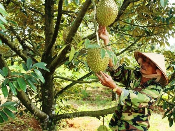 Những loại cây ăn quả được cấp mã số vùng trồng ở Đắk Lắk
