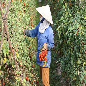 Kỹ thuật bón NPK-S Lâm Thao cho cà chua, bí xanh