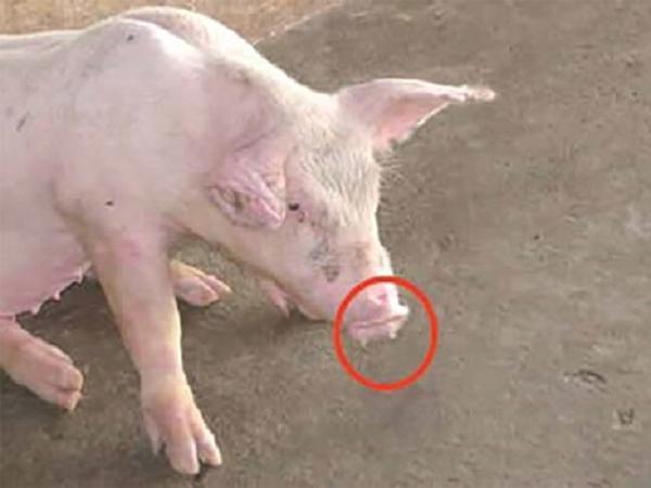 CB-Viêm phổi trên heo - bệnh gây thiệt hại nặng cho người chăn nuôi