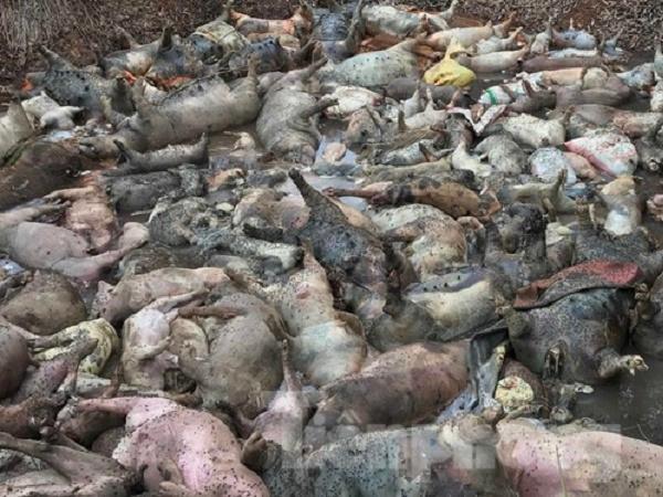 Tình hình đáng báo động của dịch tả lợn châu Phi trên cả nước