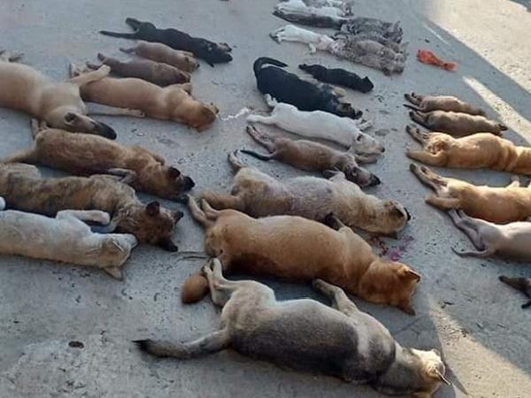 Đau xót trước cảnh tượng chó, mèo chết hàng loạt do bị đầu độc