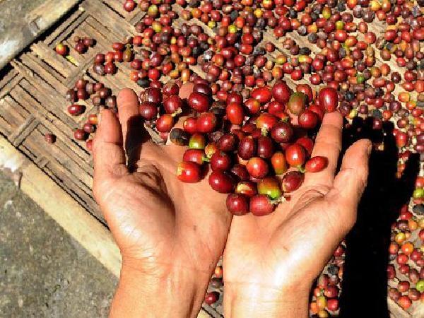 Cà phê Brazil thiệt hại nặng nề vì hạn hán, giá đạt mức kỉ lục