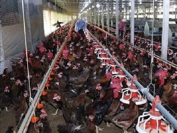 Phương án hỗ trợ người chăn nuôi khi gà thịt bị thương lái ép giá