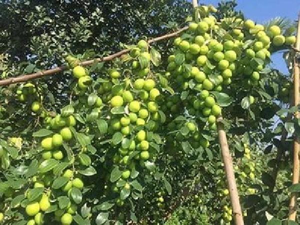 CS-Cây táo ra hoa nhiều nhưng không đậu quả, làm sao để khắc phục?