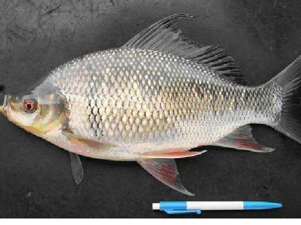Nuôi cá mè hôi trong ao đất – hi vọng mới cho người nuôi cá