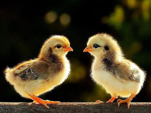 N-Giới tính gà con có thể xác định ra sao?