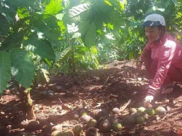 Nước mắt người trồng bơ: từ đặc sản giá trăm nghìn/kg giờ để rụng đầy gốc