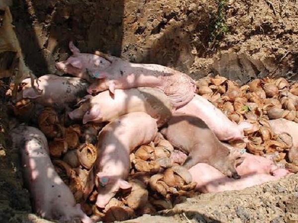 """Thêm ổ dịch mới: Đàn lợn con chưa kịp """"chào đời"""", lợn mẹ đã chết vì dịch tả lợn châu Phi"""