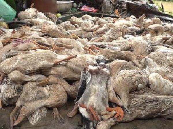 Hốt hoảng khi hàng trăm con vịt đẻ chết bất thường, nghi bị đầu độc