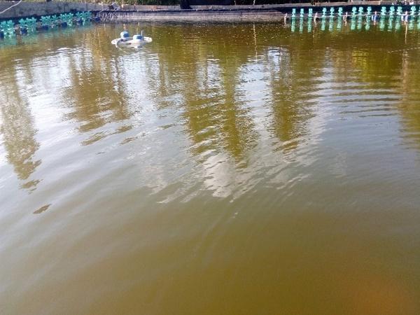 XL-Cách nhận biết và khắc phục một số trường hợp bất thường của màu nước ao nuôi cá