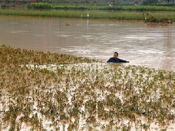 CS-Hướng dẫn khôi phục lúa và rau màu sau ngập úng do mưa lũ