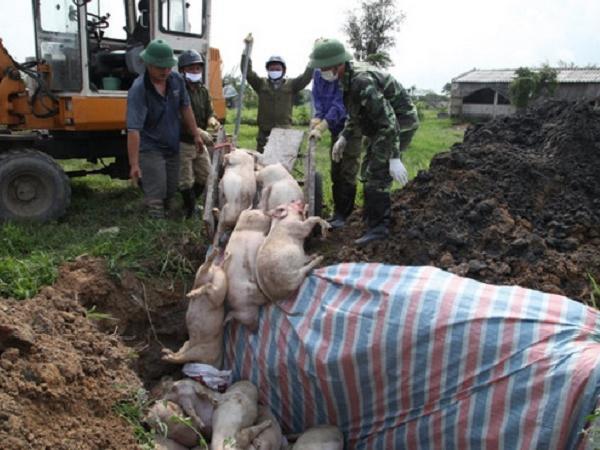 Nóng! Thêm nhiều ổ dịch mới, diễn biến dịch tả lợn châu Phi ngày càng phức tạp