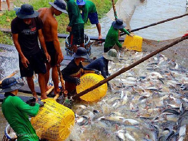 Thị trường xuất khẩu cuối năm khởi sắc, giá cá tra tăng trở lại