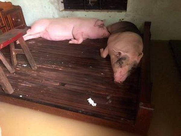 Xót xa hình ảnh người dân nhường giường cho heo ngủ vì lũ lớn