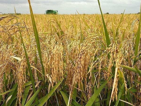 Lúa gạo đầu tuần giao dịch sôi động
