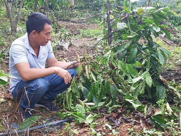 Đi thăm rẫy, tá hỏa phát hiện hàng trăm cây cà phê, tiêu, điều đã bị đốn sạch