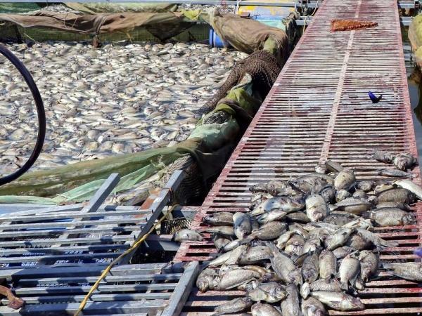 Mất trắng vì gần 80 tấn cá lồng chuẩn bị thu hoạch chết hàng loạt, chưa rõ nguyên nhân