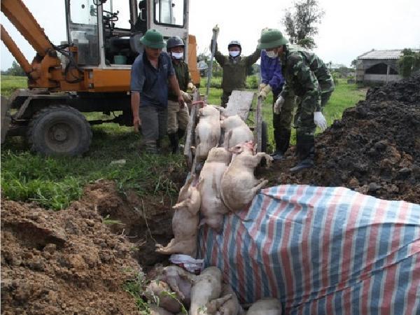 Nguyên nhân khiến dịch tả lợn châu Phi tái phát mạnh, người chăn nuôi cẩn trọng