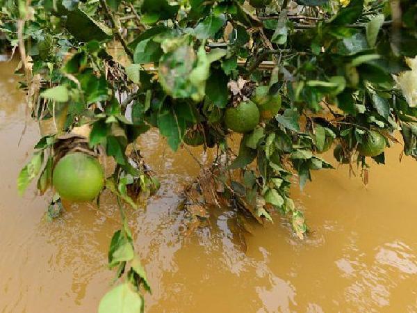 CS-Những biện pháp cần làm ngay để phục hồi vườn cây ăn trái sau ngập lũ