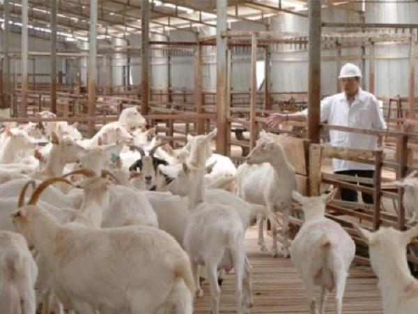 Chăn nuôi theo hướng công nghệ cao, xu hướng của tương lai