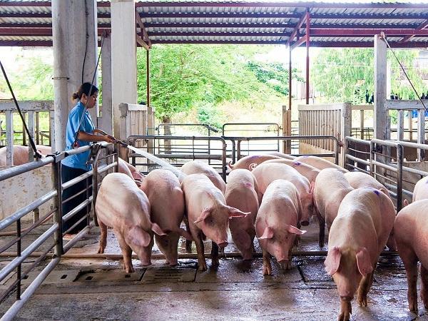 Liệu giá lợn có tăng do mưa lũ nghiêm trọng tại miền Trung?