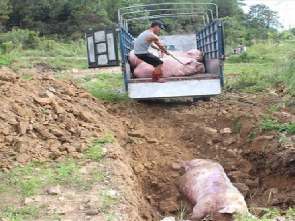 Xót xa cảnh nông hộ tự tay tiêu hủy đàn lợn chết vì nhiễm dịch bệnh