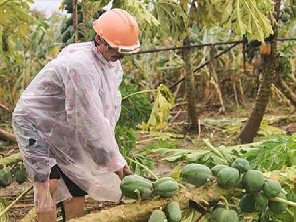 CS-Biện pháp giải độc cho cây trồng sau ngập úng, lũ lụt