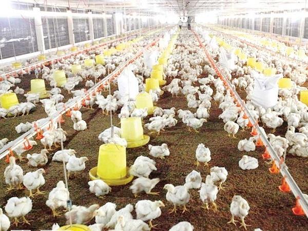 Nuôi gà trang trại lạnh công nghệ Đức
